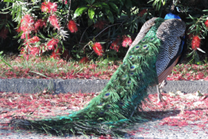 A peacock among leaves in the Jardim do Palácio de Cristal park