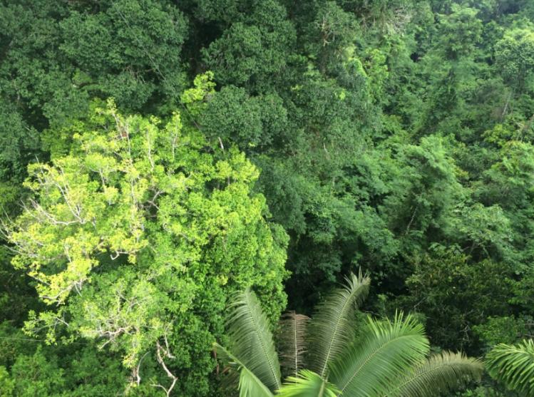 Amazon Rainforest tree canopy