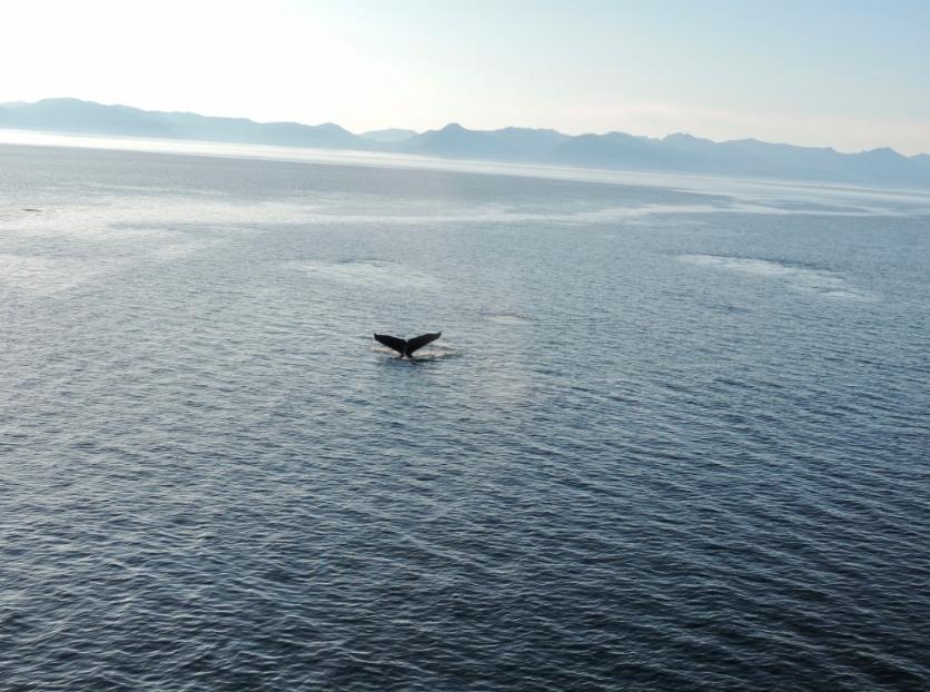 A humpback whale dives