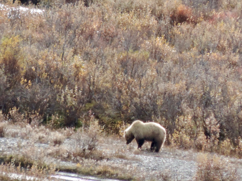 Closer up view of a grizzly bear in Denali National Park