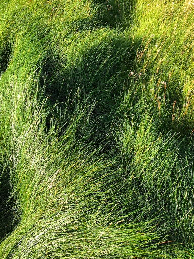 Grass on the Orkney coast