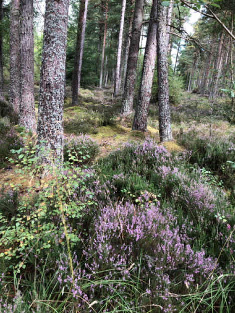 The woodland around Culloden Battlefield