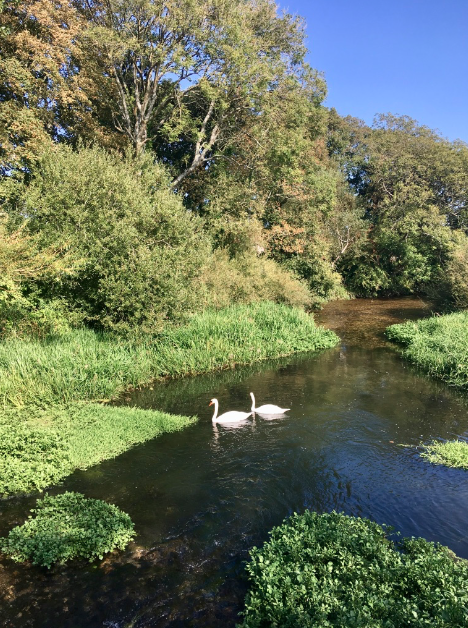 Swans in Hardy's Wessex