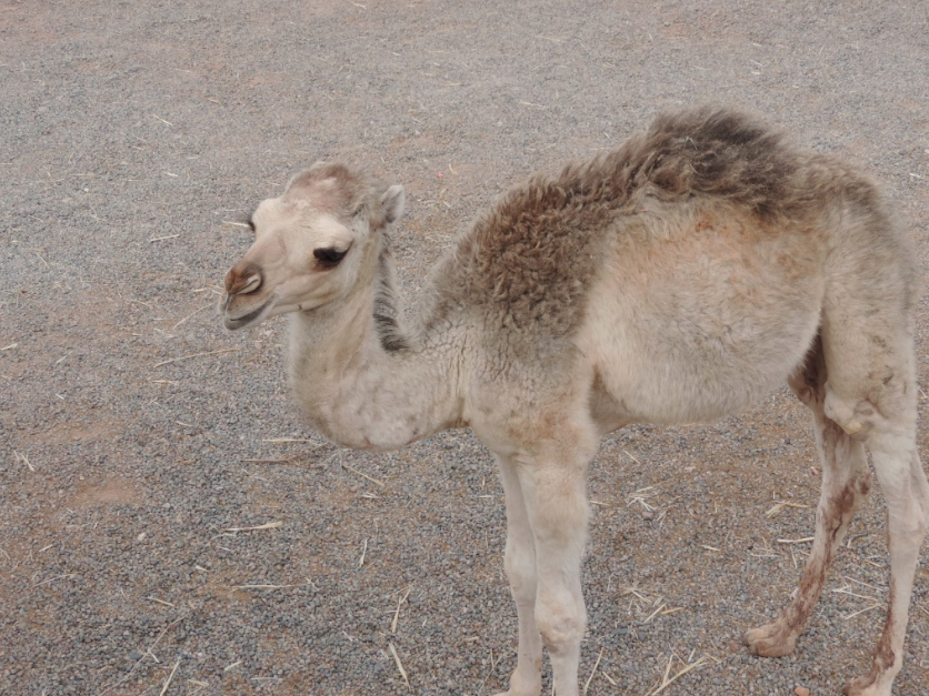 A young camel in the Atlas Mountains