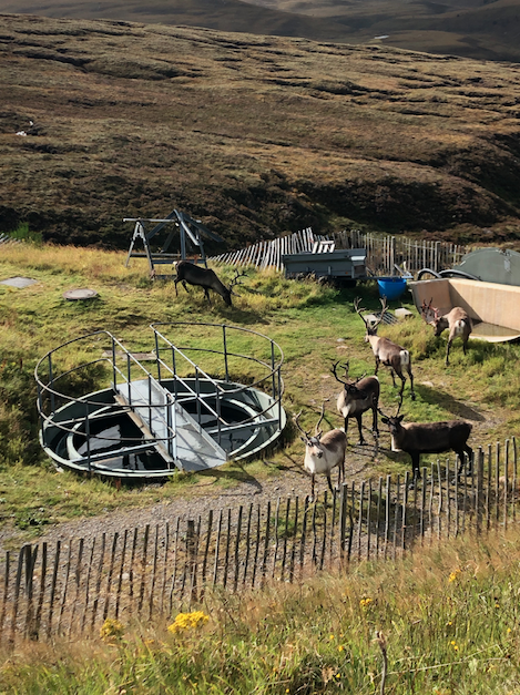Reindeer on the Cairn Gorm mountain