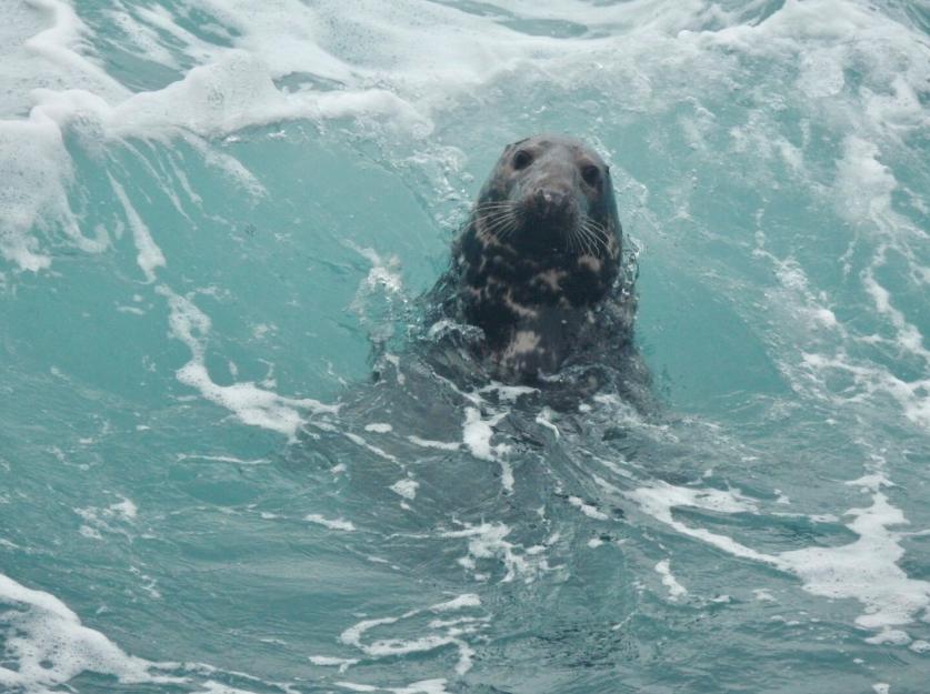 A grey seal off the Sumburgh coastline