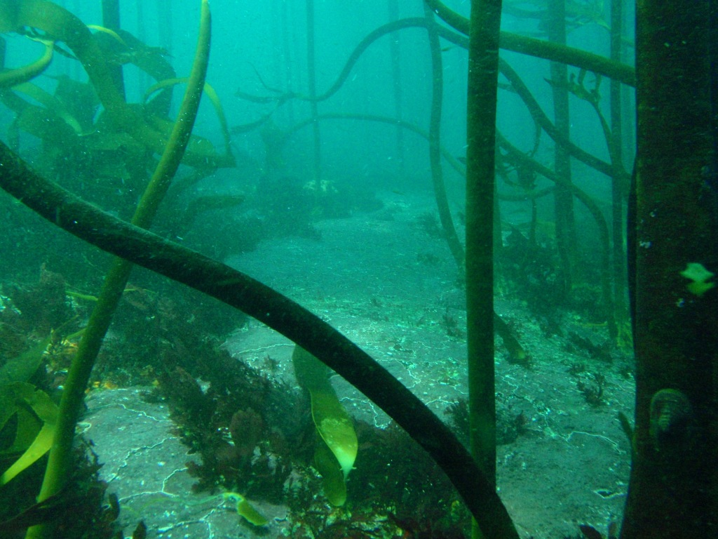 Kelp forest off Cape Peninsula, South Africa