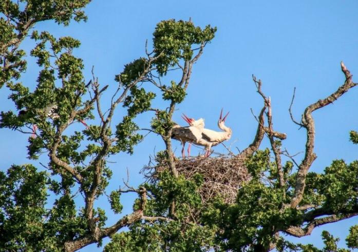 Storks at Knepp