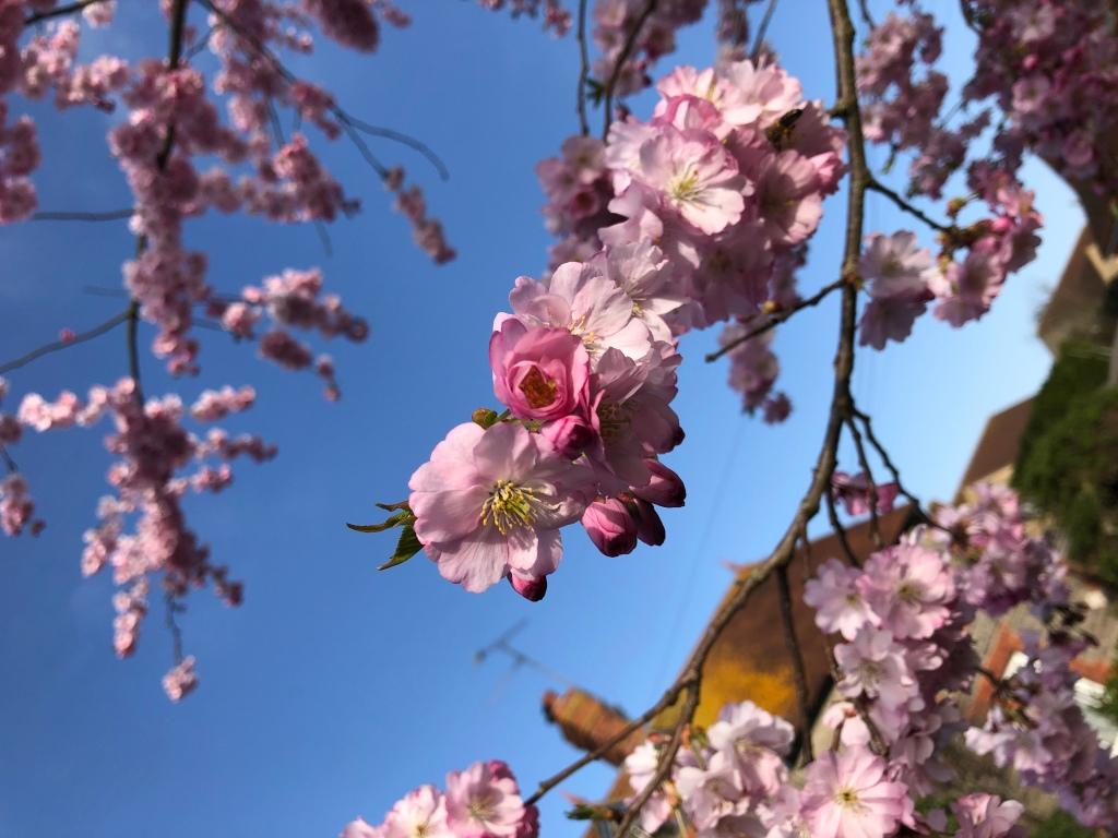 Blossom in Henstridge, Somerset